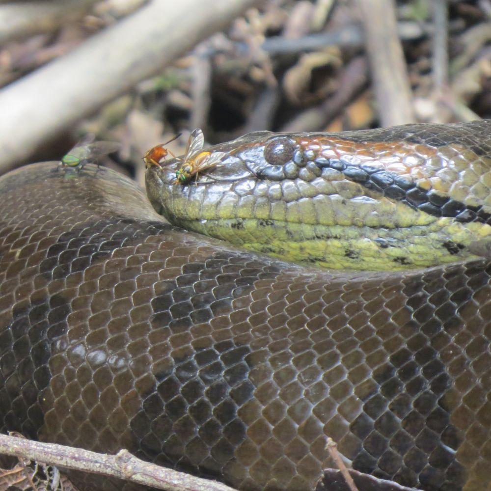 Amazon Big Snake