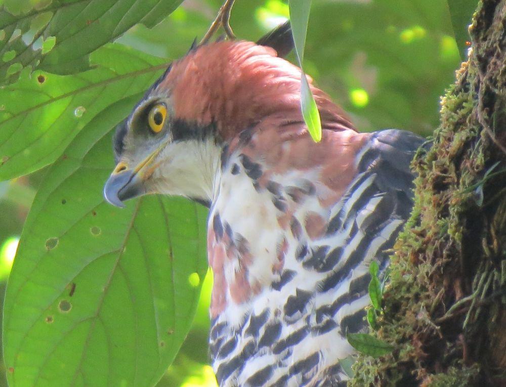 Amazon Eagle