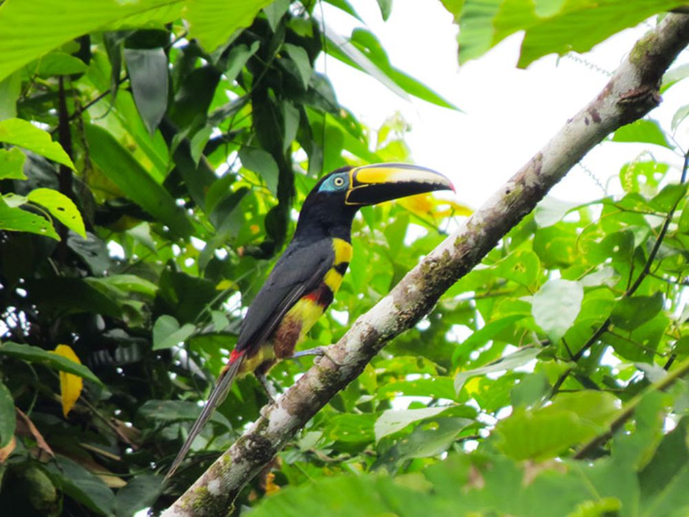 Amazon Tucan